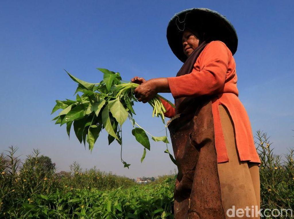 Panen Kangkung di Desa Pesawahan Kabupaten Bandung Menurun