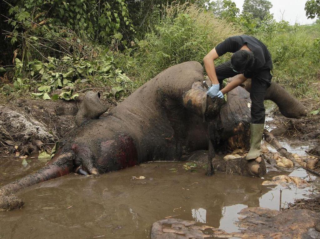 700 Gajah Sumatera Mati karena Diburu-Diracun dalam 10 Tahun Terakhir