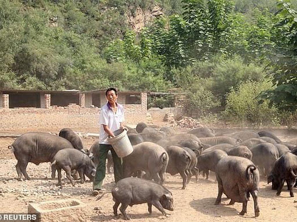 Perjalanan Orang Terkaya China: Awal Ternak 22 Babi hingga Punya Rp 196 T