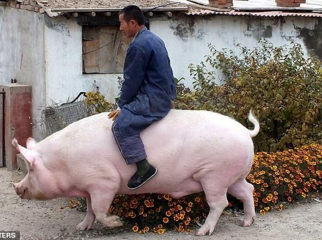 Bikin Tajir Melintir, Ini Sejarah Orang China Beternak Babi