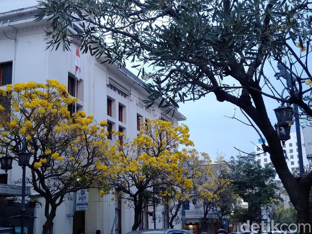 Bunga Tabebuya Tambah Pesona Jalan Braga