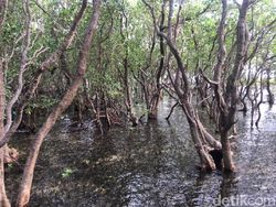 Tangkal Corona, DLH Sultra Bikin Ramuan Tingkatkan Imun dari Mangrove