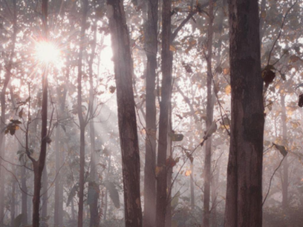 Pohon Jati: Jenis, Manfaat, Habitat dan Karakteristiknya