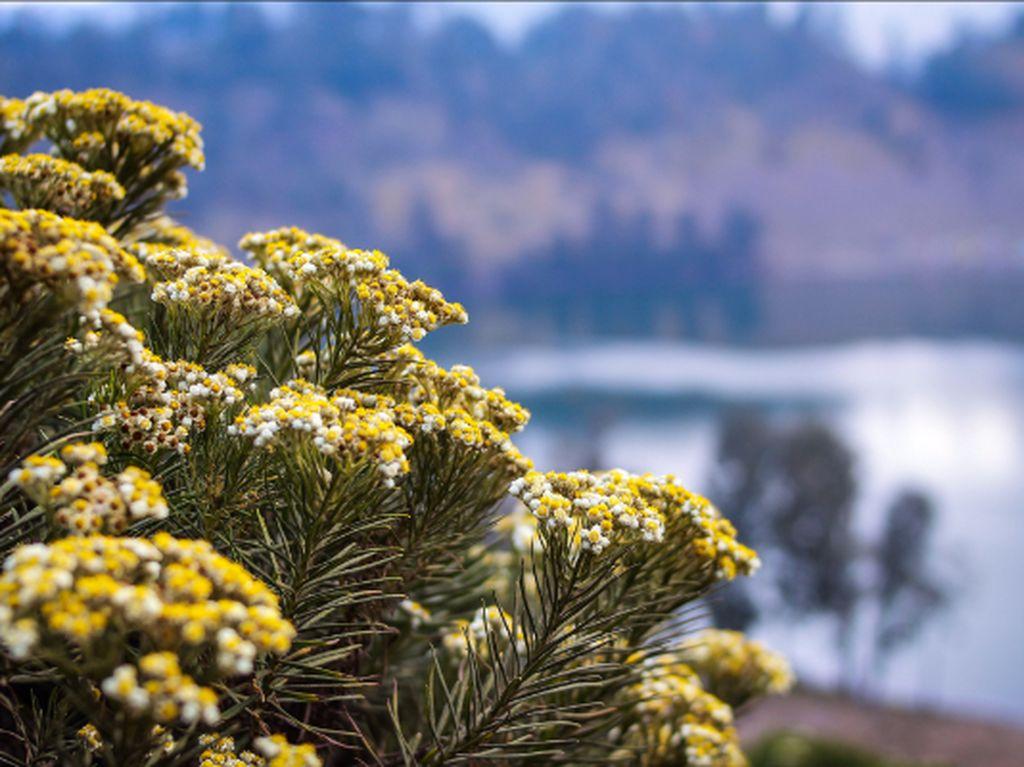 Edelweiss, Sang Bunga Abadi