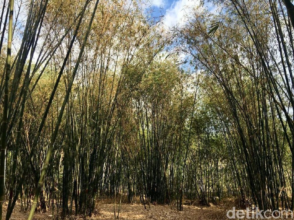 Potret Hutan Bambu Instagramable di Sulawesi