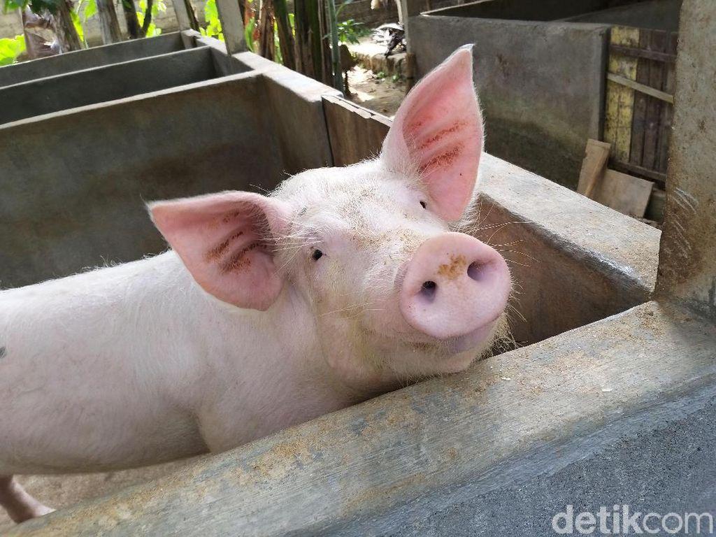 Waspada Virus Flu Babi G4, Kementan Perkuat Kapasitas Deteksi Laboratorium