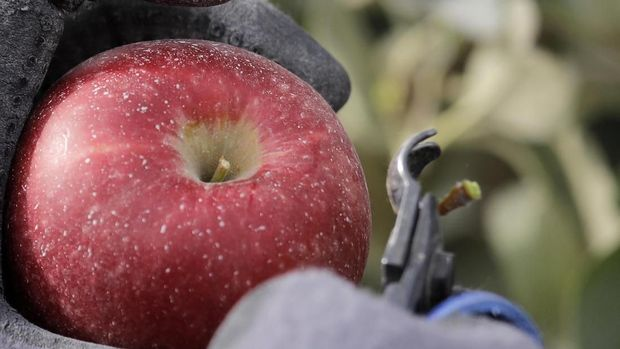 In this photo taken Tuesday, Oct. 15, 2019, a worker snips off the hard stem on a Cosmic Crisp apple, a new variety and the first-ever bred in Washington state, just after pulling it off a tree at an orchard in Wapato, Wash. Workers cut the stem below the top of every Cosmic Crisp apple to prevent damage to the fruit during transportation and storage. The Cosmic Crisp, available beginning Dec. 1, is expected to be a game changer in the apple industry. Already, growers have planted 12 million Cosmic Crisp apple trees, a sign of confidence in the new variety. (AP Photo/Elaine Thompson)