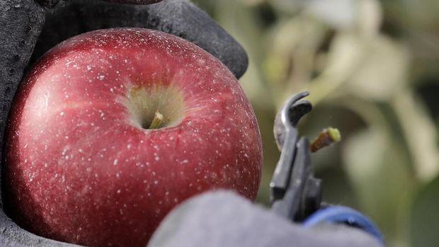 Cosmic Crips, Varietas Apel Baru Amerika yang Lebih Renyah