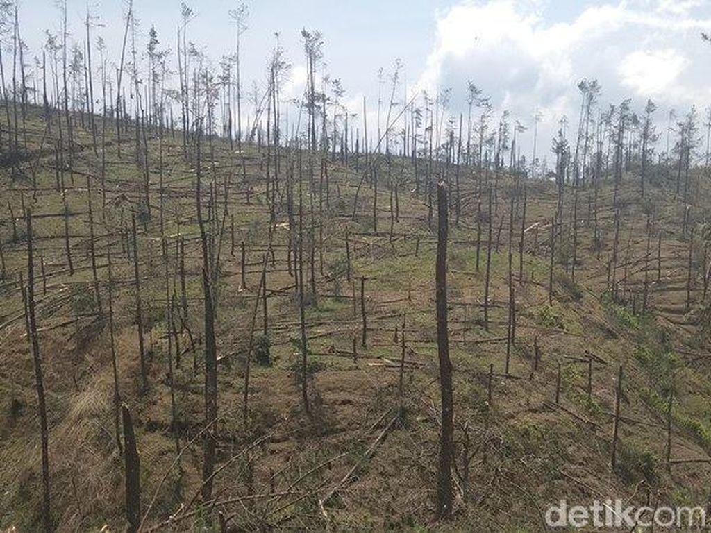 Hutan Pinus di Lereng Merbabu Rusak Diterjang Angin Kencang