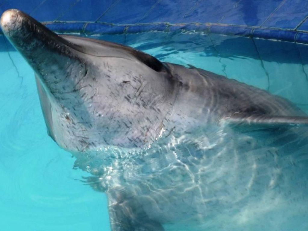 Kronologi Penyelamatan 4 Lumba-lumba dari Hotel di Bali