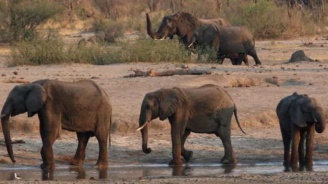 2 Bulan Dirawat karena Terjerat, Anak Gajah di Riau Mati