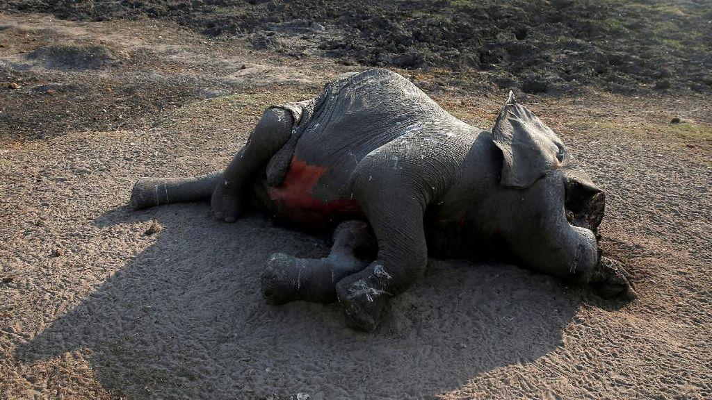 Kasihan, 55 Gajah di Zimbabwe Mati Akibat Kekeringan