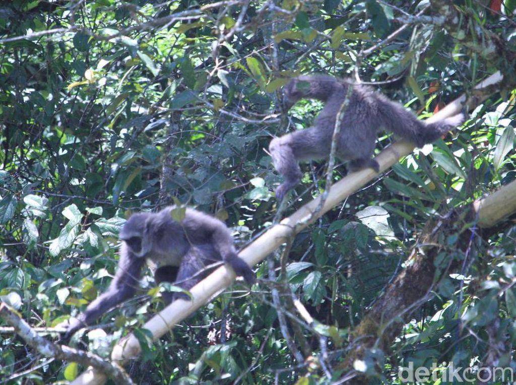 Internasional Gibbon Days: 2 Owa Jawa Dilepas di Situ Patenggang