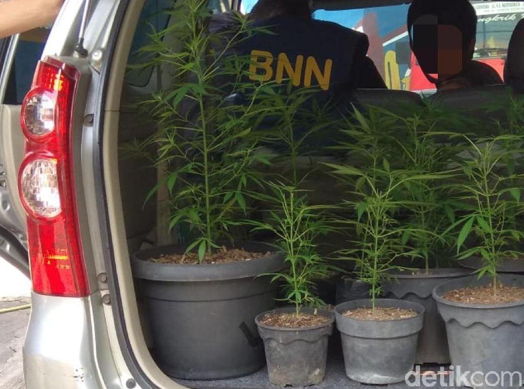 BNN Jabar Bekuk Dua Pria yang Tanam Ganja Dalam Pot di Sukabumi