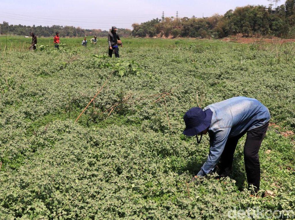 Debit Air di Bantaran Sungai Menyusut, Warga Ramai Mencari Rumput