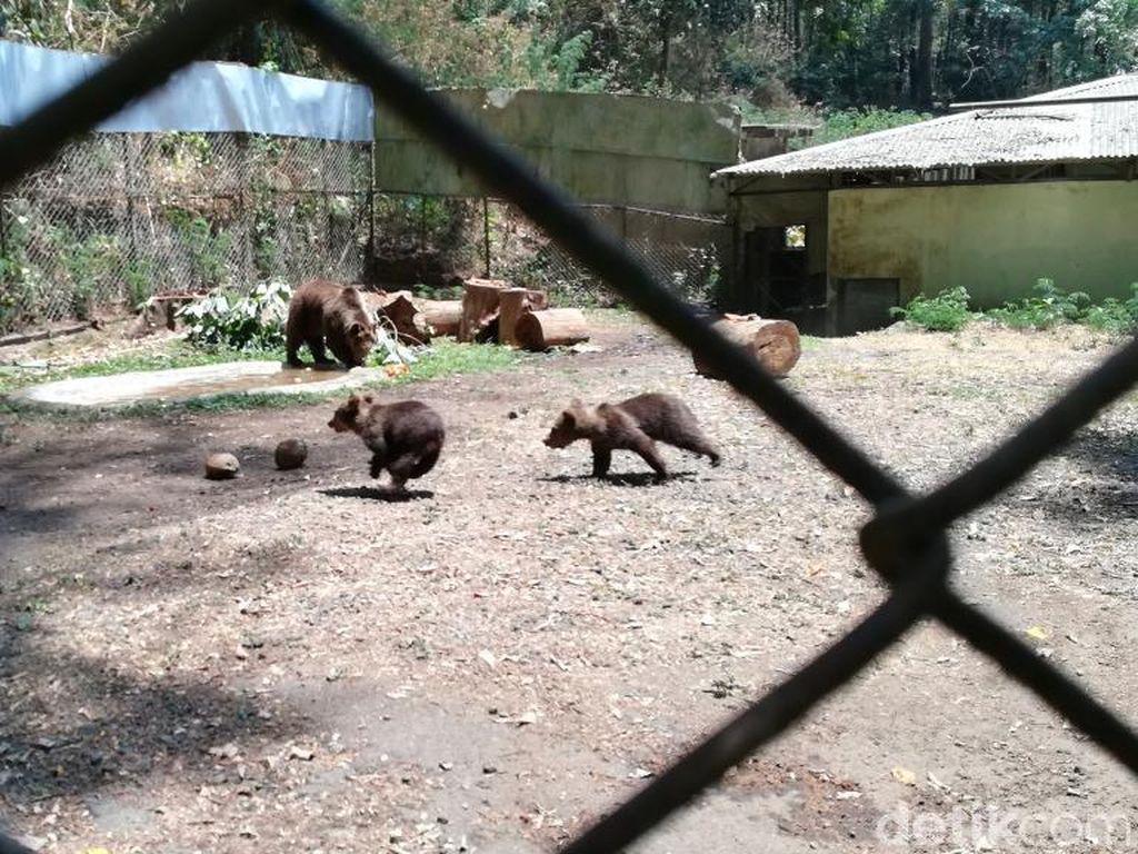 Beruang Coklat Joy di Taman Safari Prigen Lahirkan Dua Anakan Menggemaskan