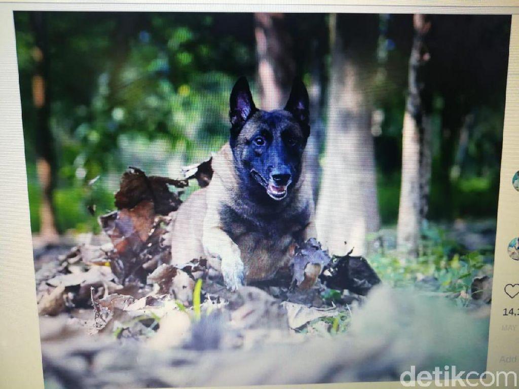 Sparta, Anjing Bima Aryo yang Sempat Diobservasi karena Gigit ART Mati