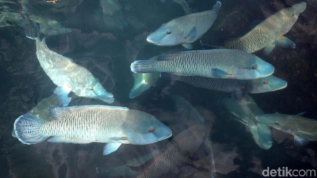 Melihat Budidaya Ikan Napoleon di Natuna