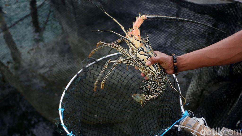 Meraup Cuan Lewat Bisnis Lobster di Perbatasan