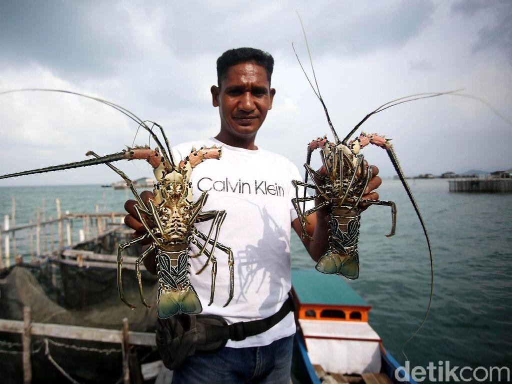 Effendi Gazali: Tak Ada Larangan Budi Daya Lobster di Negara Lain!