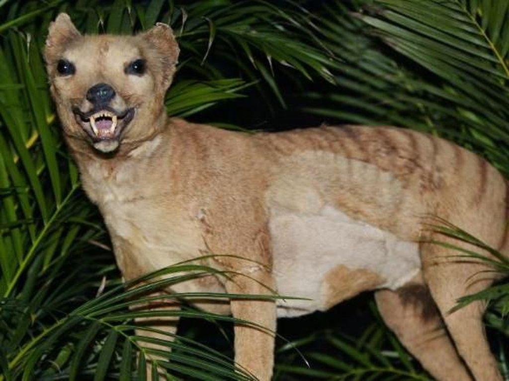 Heboh Penampakan Harimau Tasmania