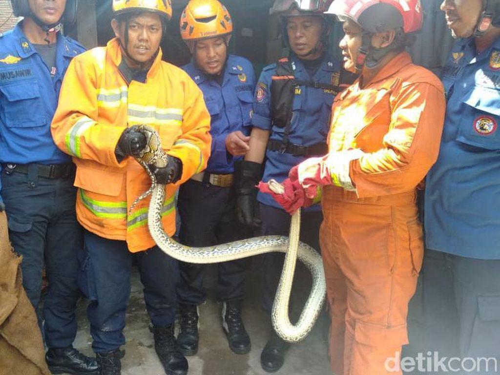 Ngumpet di Balik Lemari, Ular Piton Bikin Panik Warga Makassar