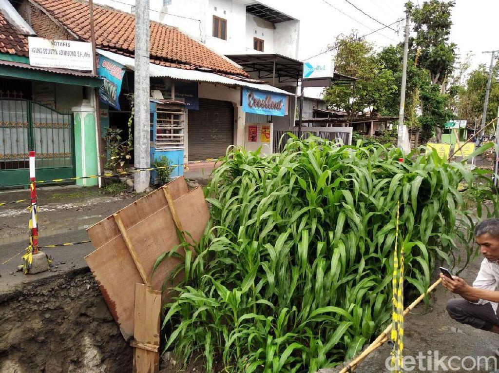 Kebun Jagung di Tengah Jalan, Cara Warga Yogya Protes Proyek Mangkrak