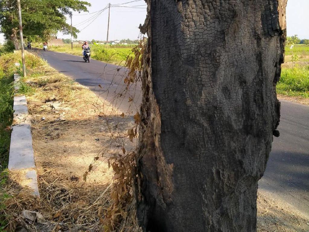 Banyak Pohon Peneduh Jalan di Klaten Dibakar, Siapa Pelakunya?