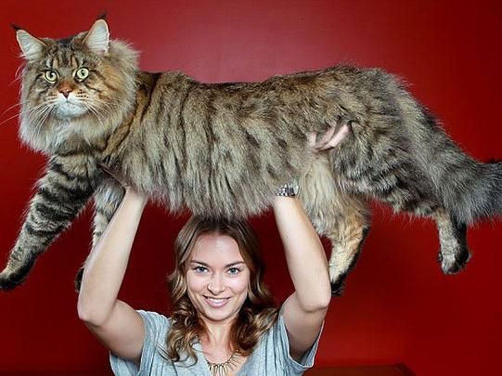 Kumpulan Potret Kucing Peliharaan Raksasa, Sungguh Ada!