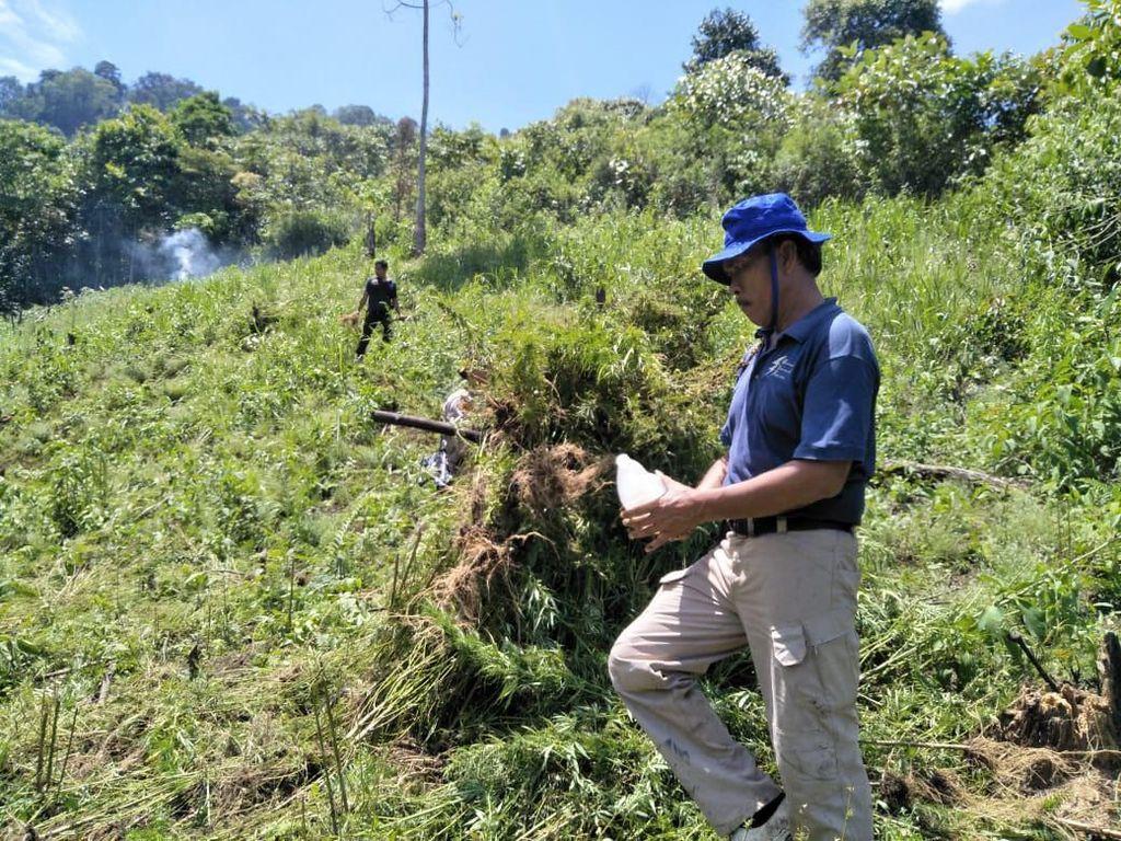 2 Hektare Ladang Ganja Ditemukan di Lembah Tor Sihite Sumut