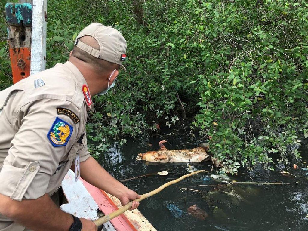 Bangkai Babi Ditemukan di Sungai Bederah Medan Capai Ratusan
