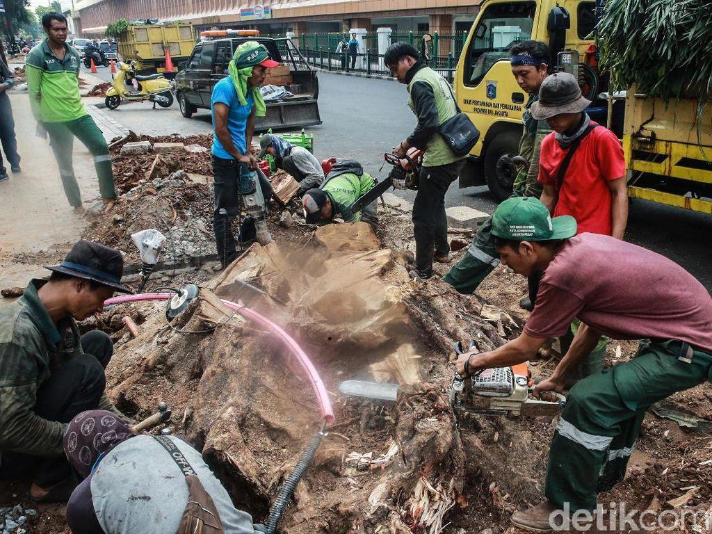 Sulitnya Membongkar Akar Tunggak Pohon di Cikini