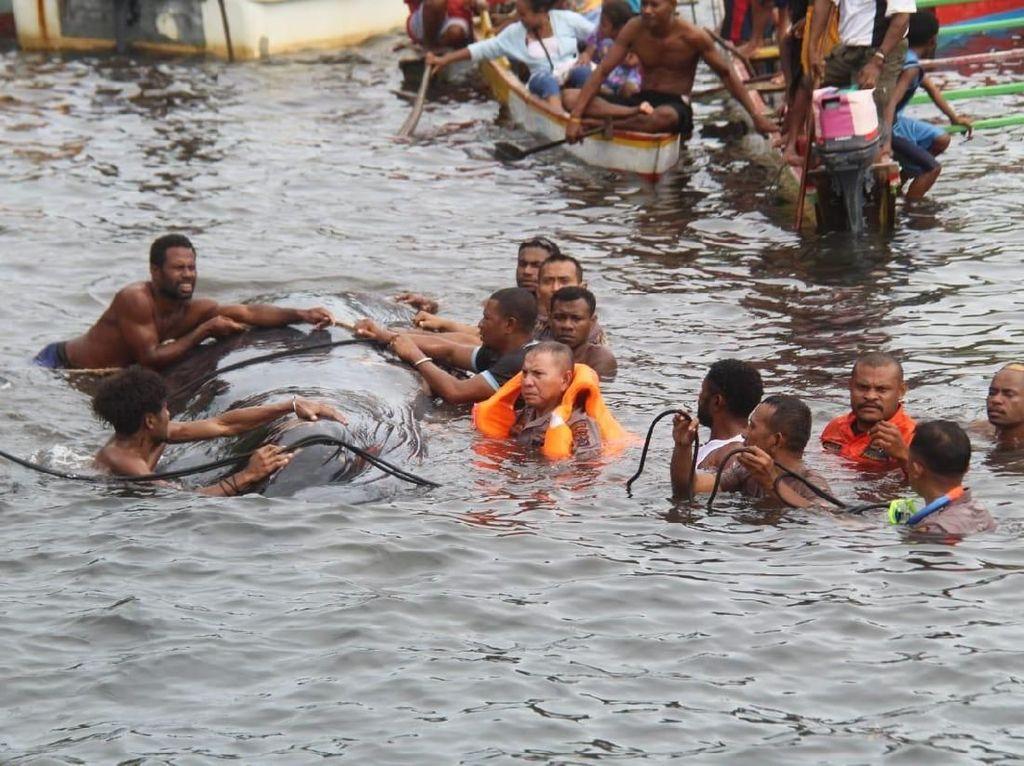 Warga Kepulauan Ambai Selamatkan Paus 12 M yang Terdampar Penuh Luka