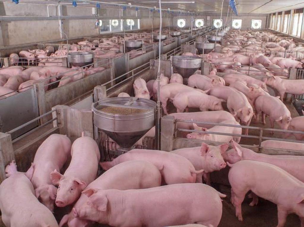 Gelar Acara Kuliner, Peternak di Karo Pastikan Daging Babi Aman Dimakan