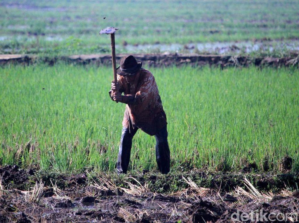 Jokowi Mau Terbitkan Data Tunggal Pertanian Januari 2020