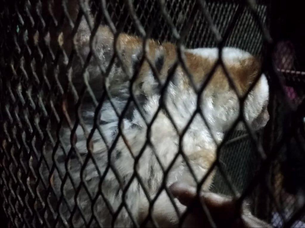BKSDA Lepas Tiga Kukang Jawa ke Cagar Alam Kamojang Garut