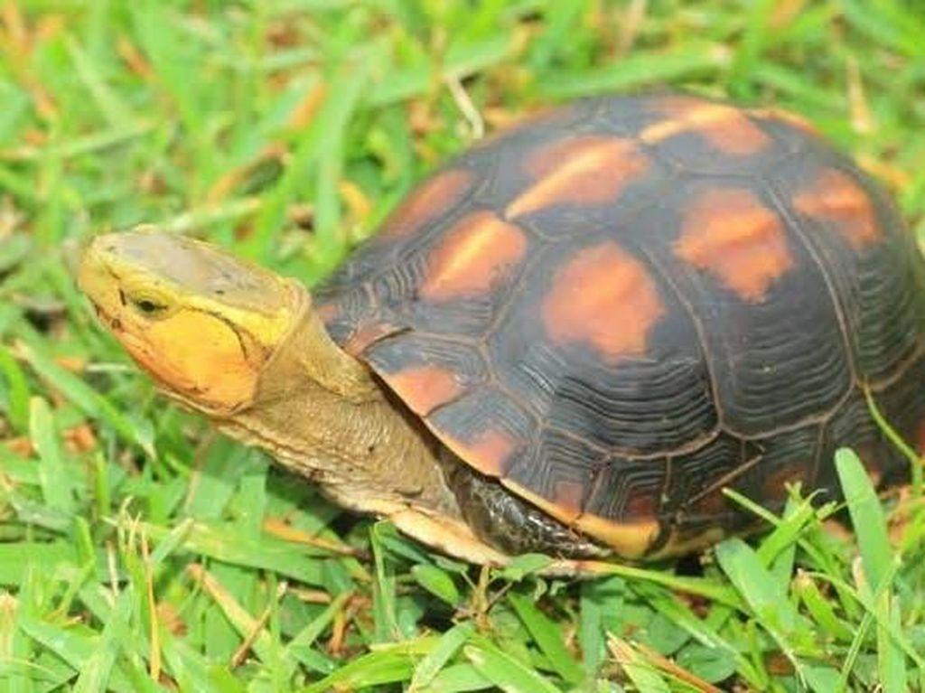 Lebih dari 60 Ekor Kura-kura Langka Hilang dari Kebun Binatang Jepang