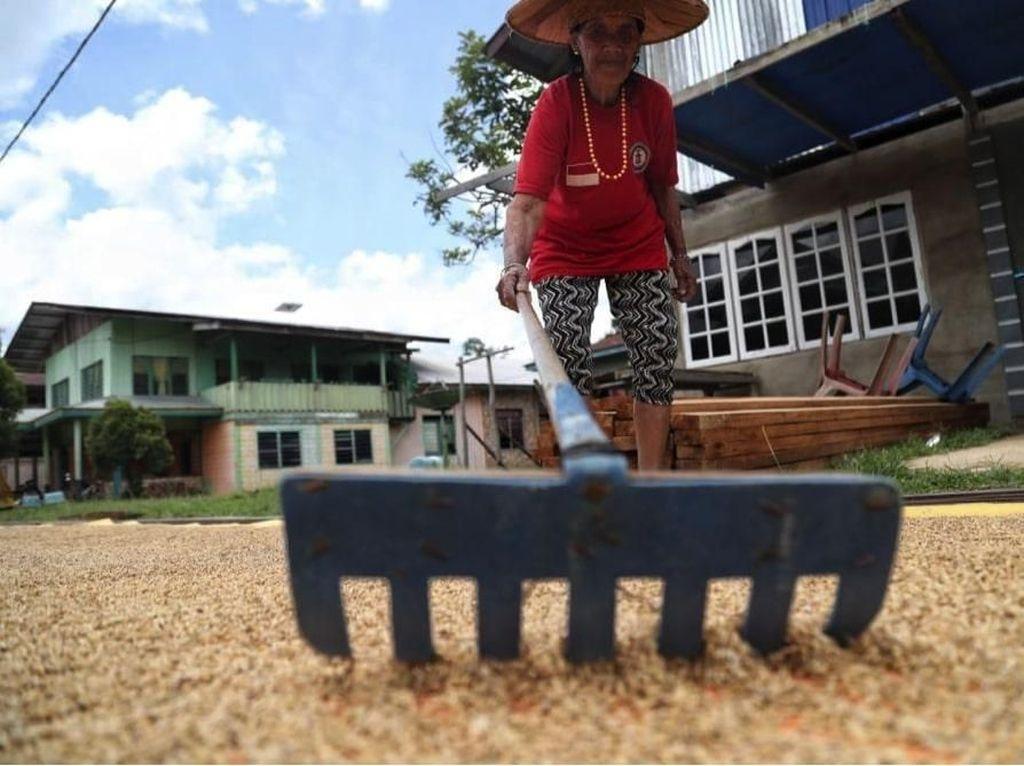 Listrik PLN Hidupkan Petani Beras Organik Kesukaan Sultan Brunei