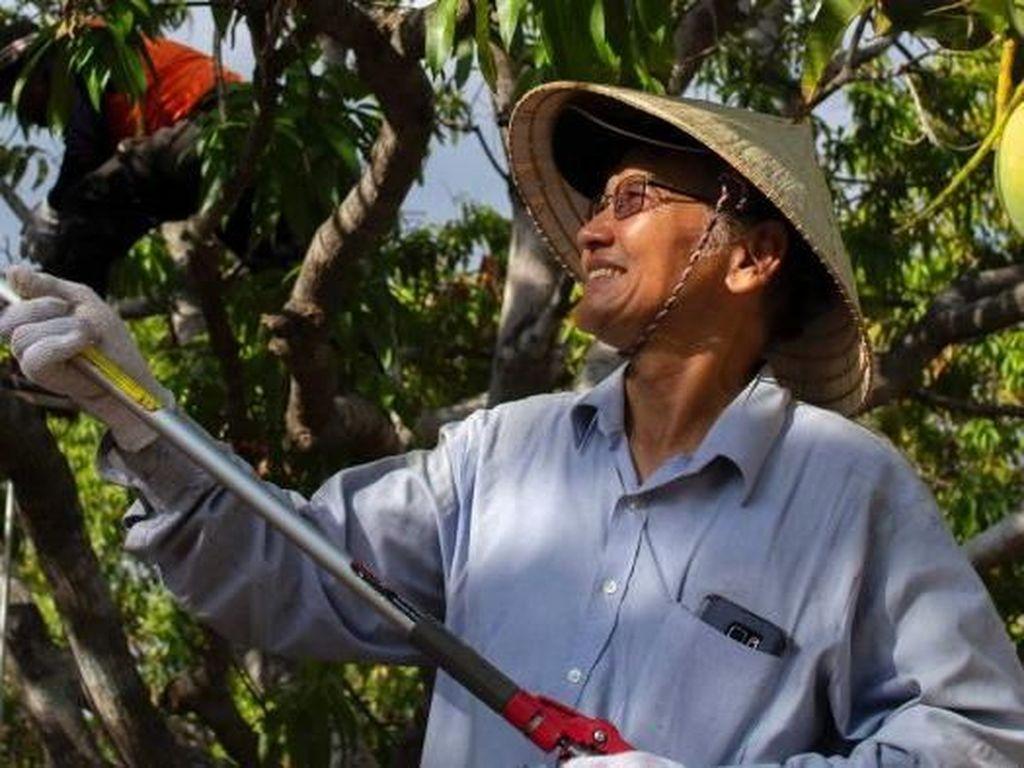 John Ho, Penyintas Perang Vietnam yang Kini Berkebun Mangga di Darwin