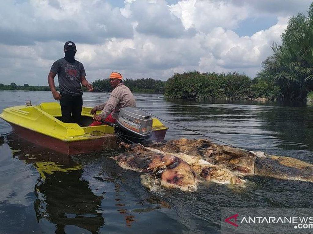 Polisi Selidiki Pelaku Buang Bangkai Babi ke Sungai-Danau di Medan