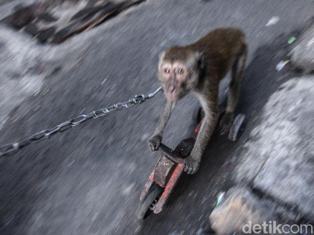 Meski Dilarang, Topeng Monyet Kembali Terlihat di Jakarta