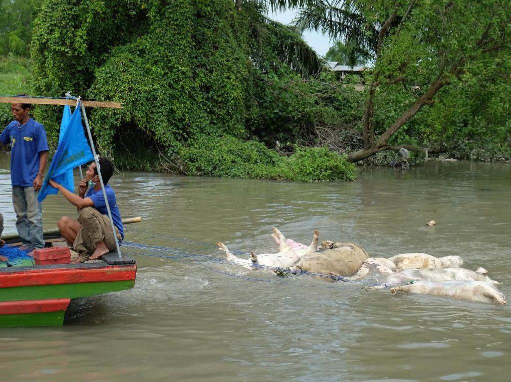 Bola Salju Kasus Bangkai Babi di Medan