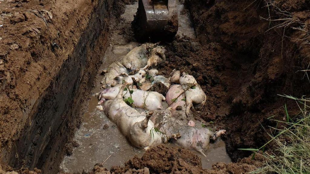 Ratusan Bangkai Babi yang Terjangkit Demam Afrika Dikubur Massal