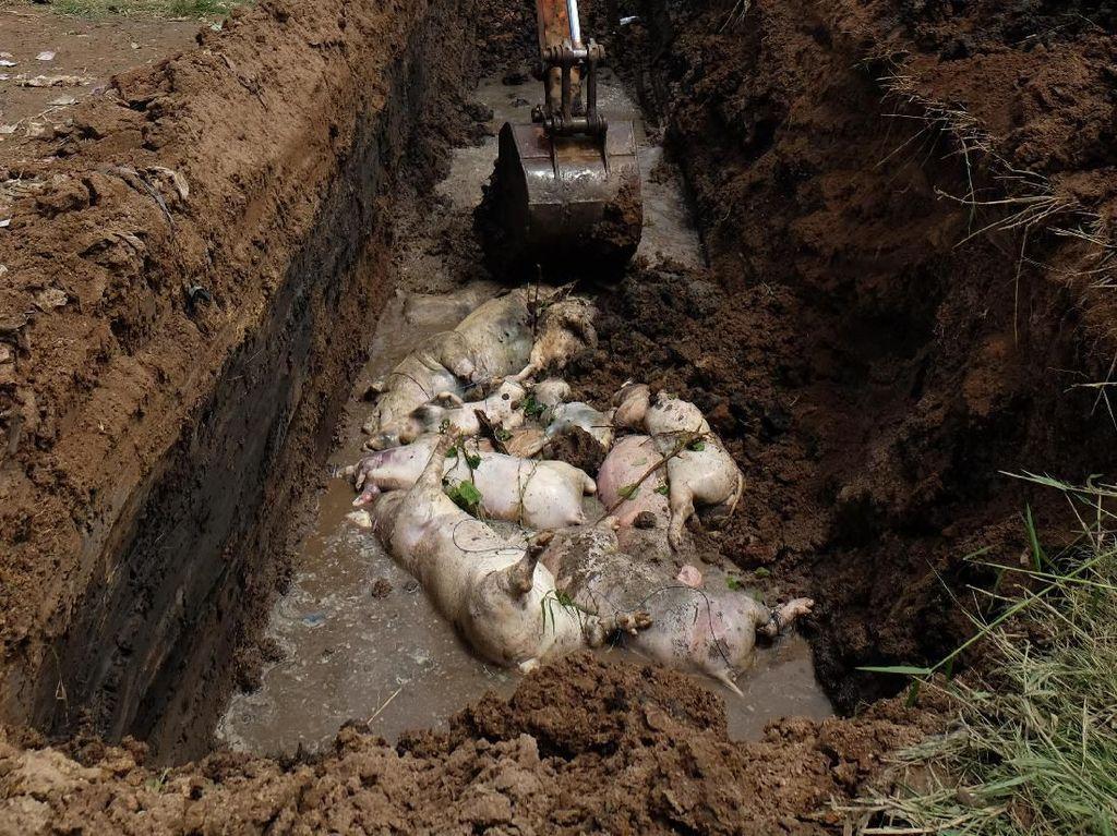 Pemerintah GelontorkanRp 5 M Atasi Demam Babi di Sumut