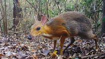 Tikus-Rusa yang Dianggap Punah Terlihat di Vietnam