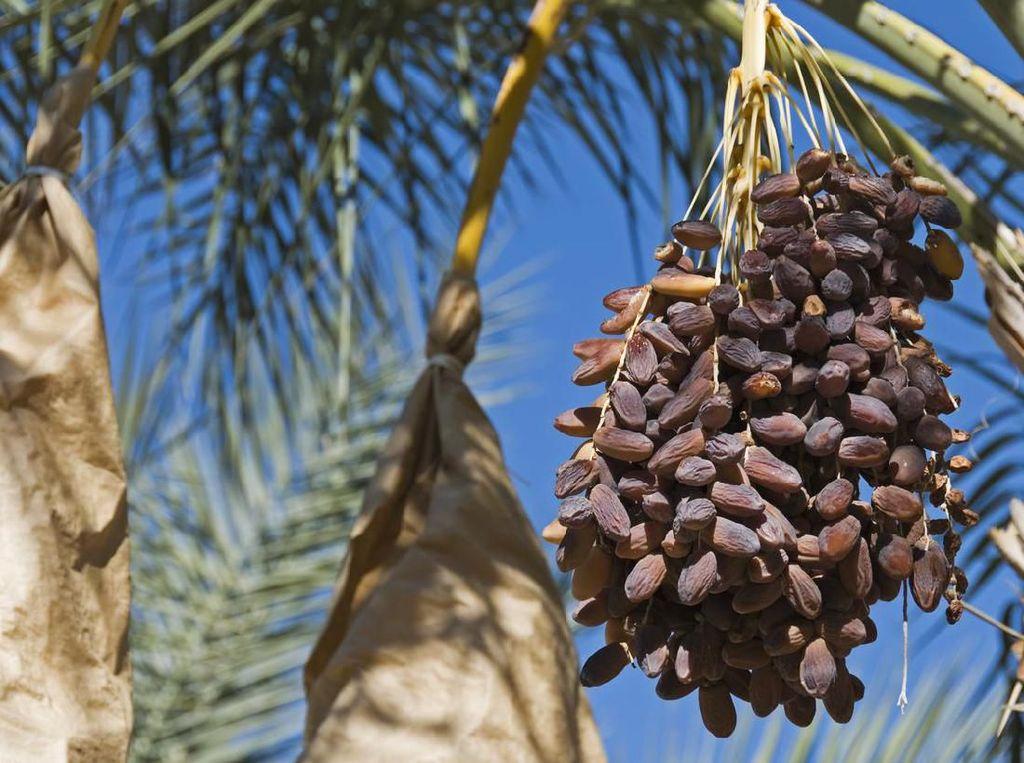 Manfaat Kurma Ajwa atau Nabi yang Berhasil Tumbuh di Ponorogo