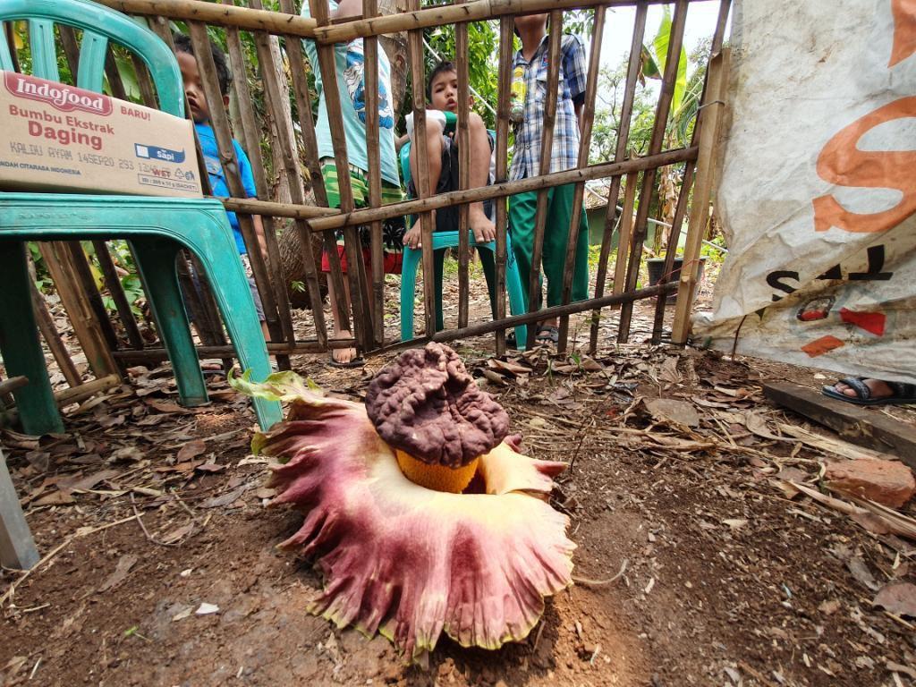Bikin Heboh, Tanaman Mirip Bunga Bangkai Tumbuh di Bekasi