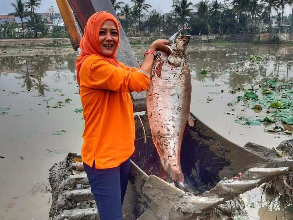 Bersihkan Teratai di Setu, Rani Tak Nyangka Dapat Ikan Belida Jumbo