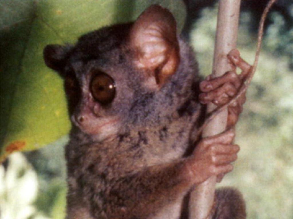 38 Spesies Satwa Primata Endemik Milik Indonesia, Terbanyak Ada di Sulawesi