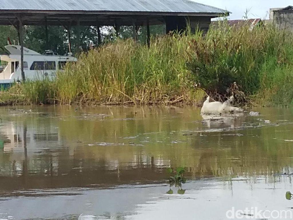 Bangkai Babi Ditemukan di Sungai Singkil Aceh, Diduga dari Sumut